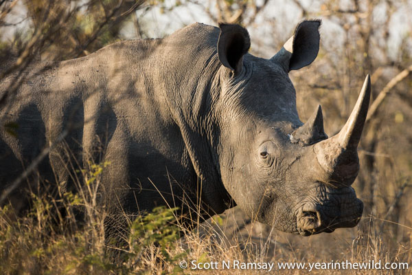 White rhino. Let's hope these peaceful creatures will still be here in similar numbers in 100 years.
