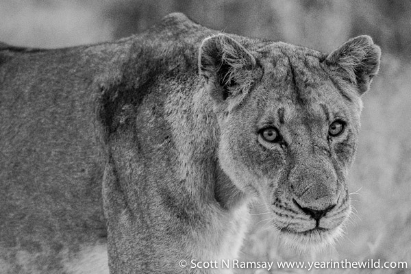 A lioness, with a look of intent. Sometimes, I wish I knew what animals were thinking.