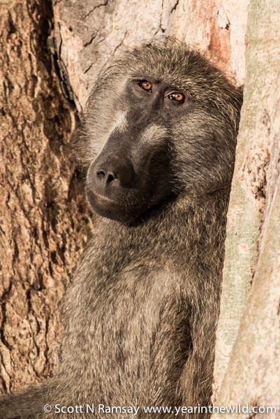 A dominant male baboon, keeping watch from a fig tree while enjoying the early morning sun.