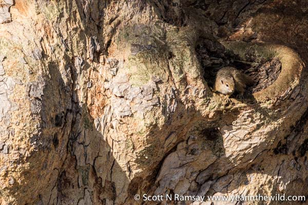 A tree squirrel, emerging from his sleeping place in a huge sycamore fig tree.