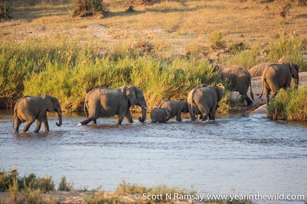 Ellies crossing the Sabie River.