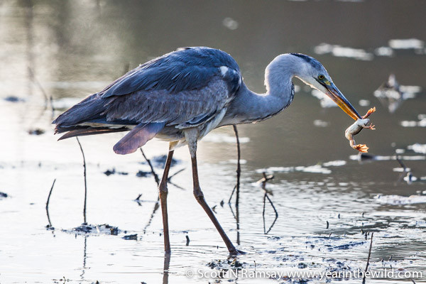 Not a good day to be a frog. This grey heron shook the poor frog around for several minutes, then swallowed it whole.