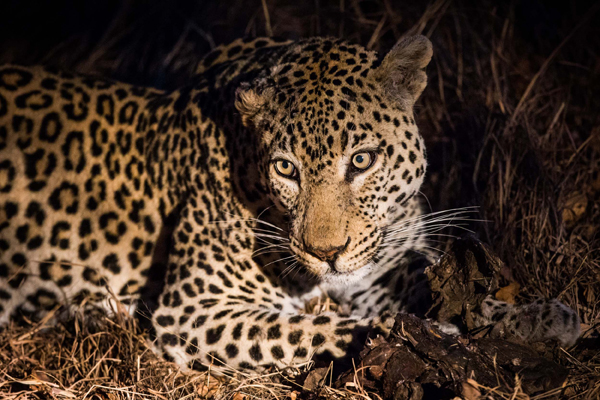 Leopard on kill in Kruger
