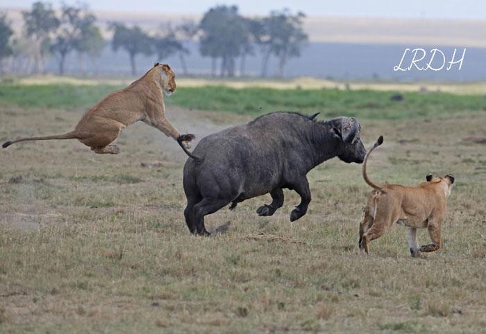Lion-VS-Buff
