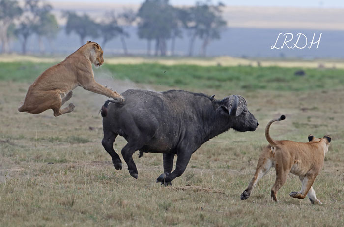 Lioness-VS-Buff