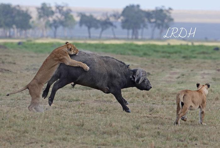 Lioness-VS-Buffalo