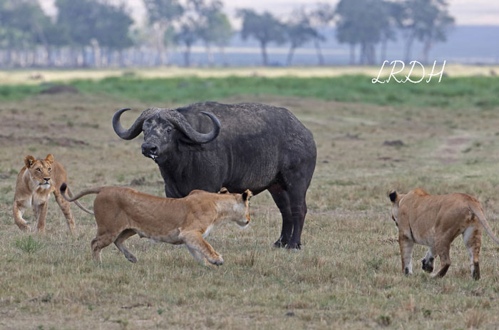Lions-VS-Buffalo