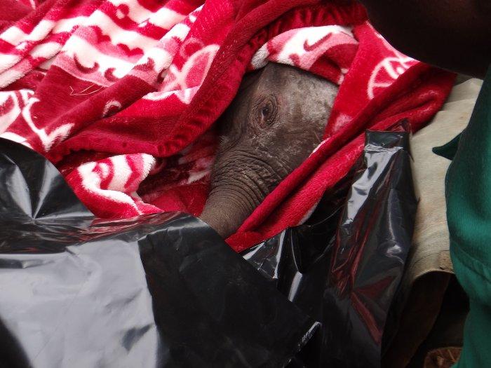 Ndotto-elephant-rescue-in-blanket
