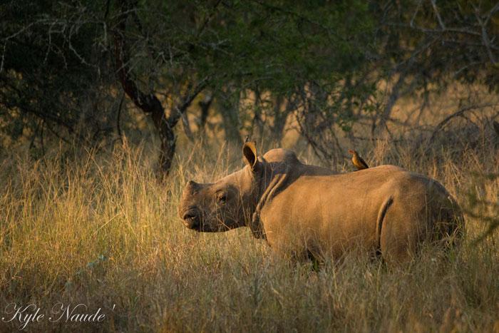 Rhino-Calf-&-Oxpecker