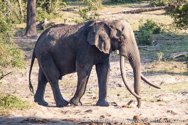 "iSilo - whose name meant ""King of Kings"" - when I photographed him two years ago. He was Southern Africa's biggest tusker, and arguably its most iconic creature. He reportedly died of natural causes earlier this year and his tusks were hacked from his face by poachers before rangers could find his carcass in the thick sand forest."