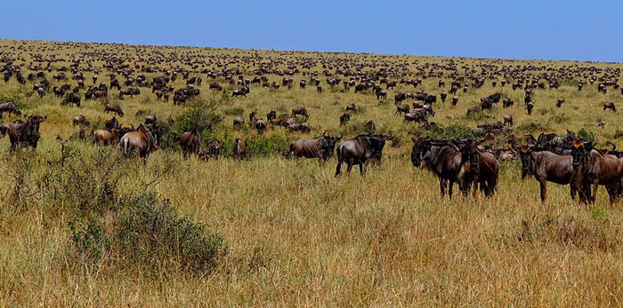 Numerous wildebeest photographed after having crossed the river Mara from Serengeti to the Mara. © Uspn
