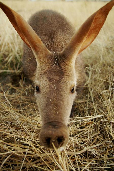 aardvark-baby