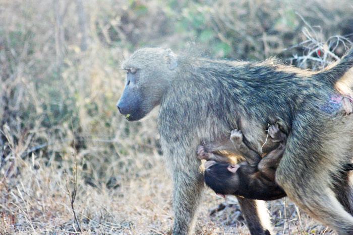 baboon-kruger