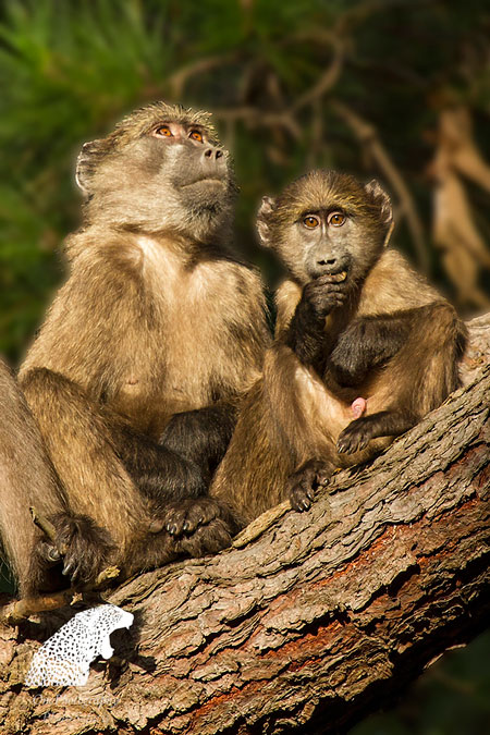 Baby baboons are extremely playful and very naughty!