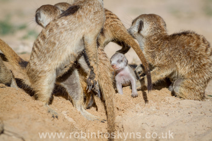 A week old Meerkat pup in the middle of the frenzy.