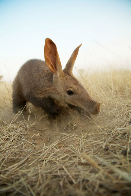 baby-rescued-aardvark