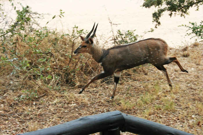 with a male bushbuck in hot pursuit.