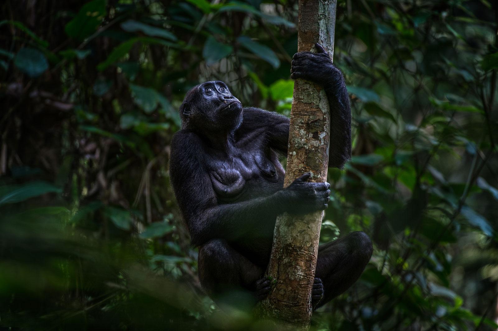 congo-gorilla-1_Michael-Viljoen