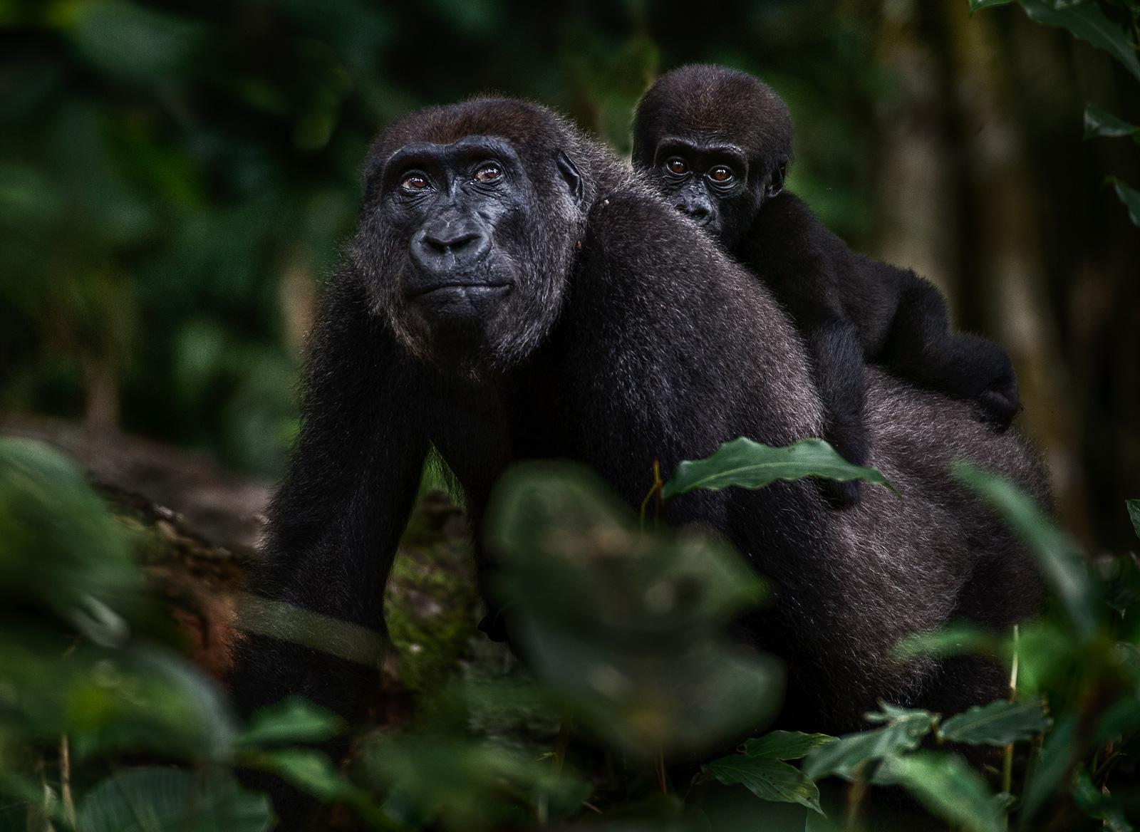 congo-gorillas-4_Michael-Viljoen
