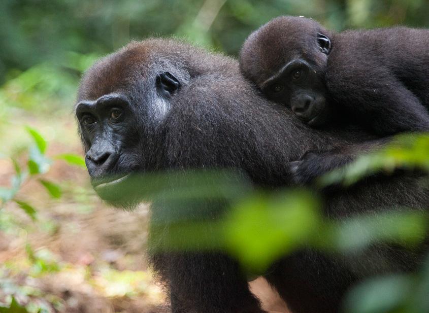 congo-gorillas-sophie-smith-3