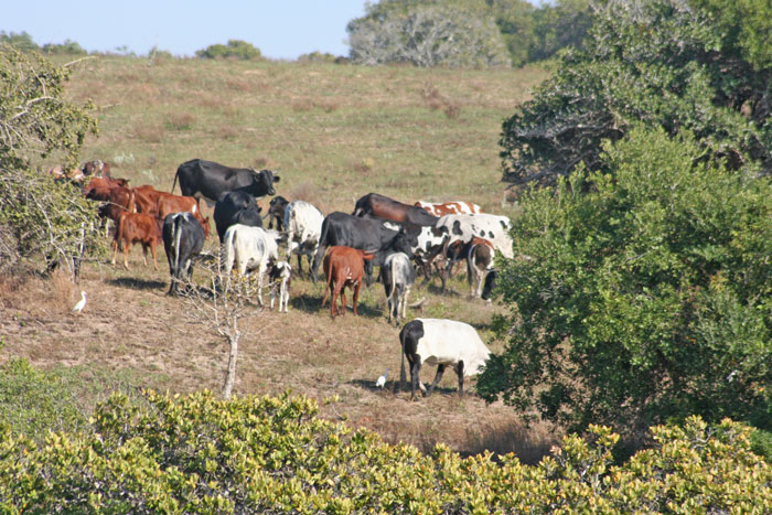 cows-in-mozambique