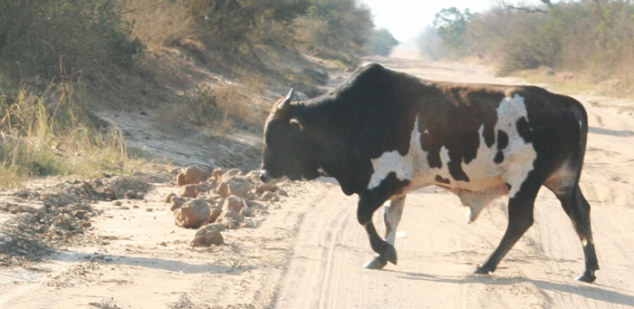 cows-mozambique