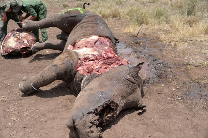 dead-rhino