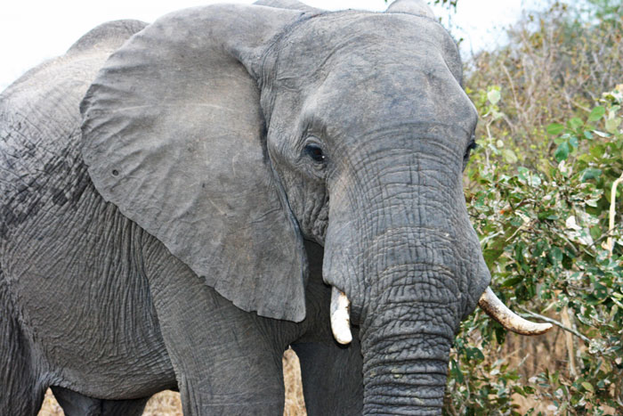 Up close and personal with elephants in the Timbavati.