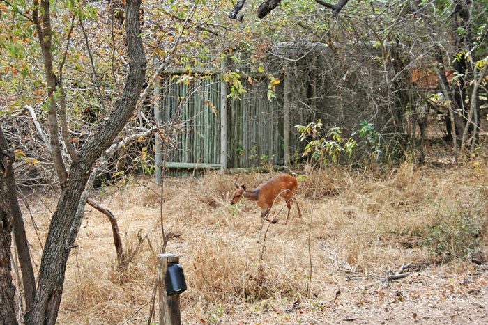 A bushbuck runs right past our tent at Tanda Tula Safari Camp.