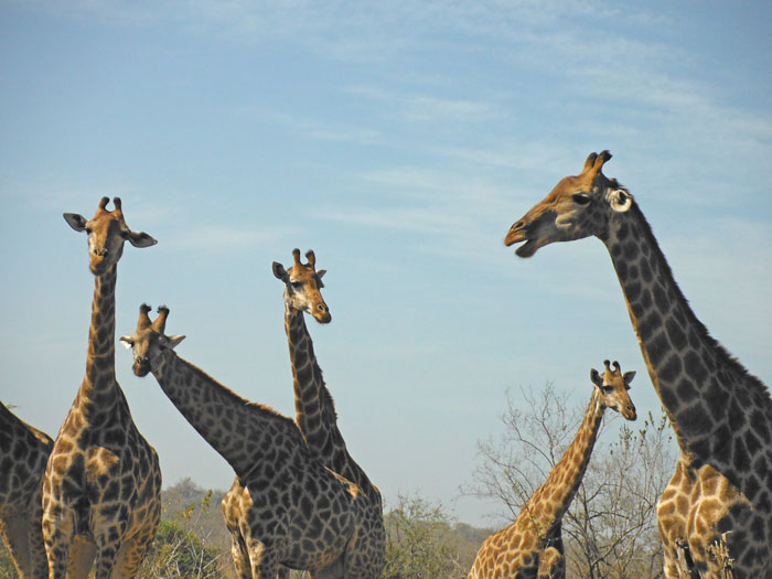giraffes-kruger