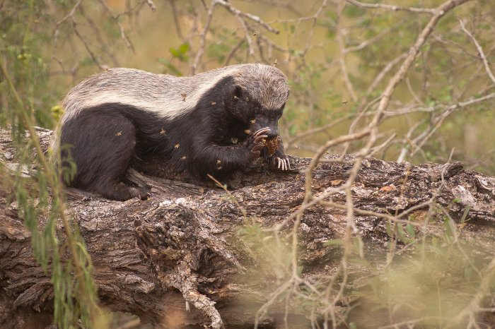 honey-badger-eating-honey