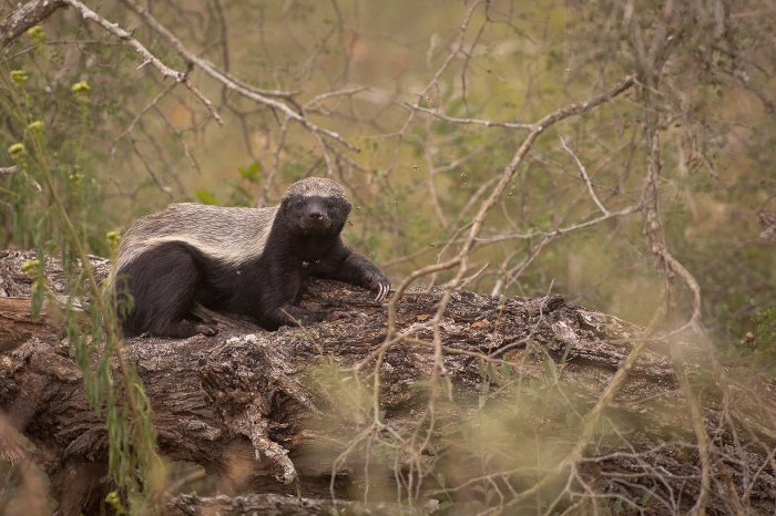 honey-badger-kruger-national-park