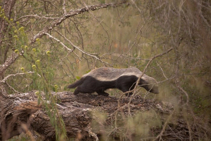 honey-badger-kruger-park