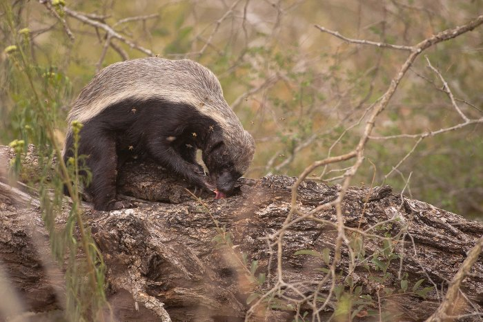 honey-badger-kruger