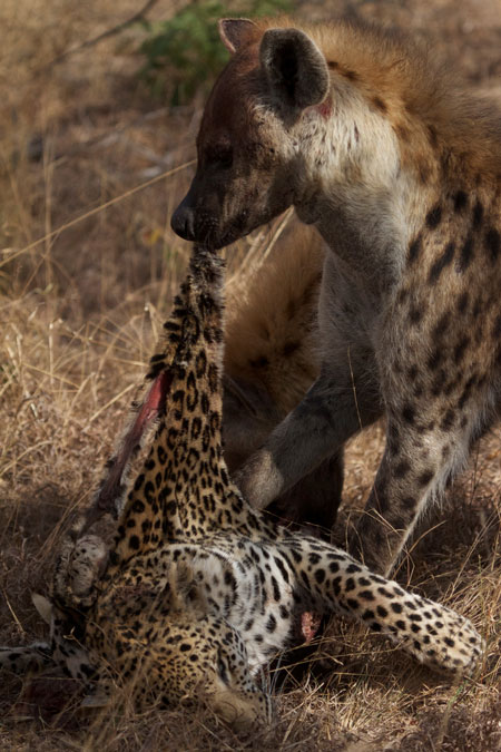 hyena-eating-leopard