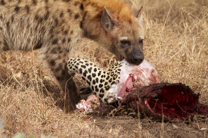 What are some of the hyena's predators?