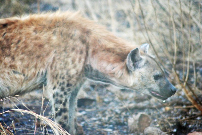 An hyena just outside the fence at Satara rest camp.