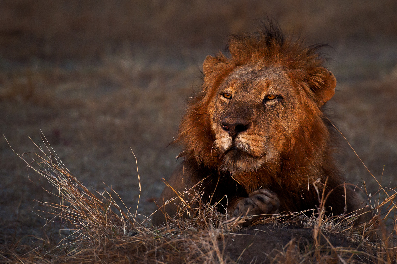 lion-canned-hunting-africa-geographic-©WimVorster