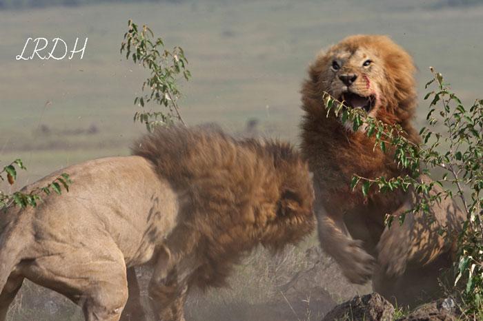 lions-battle