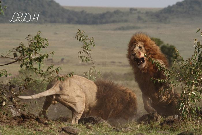 lions-fighting