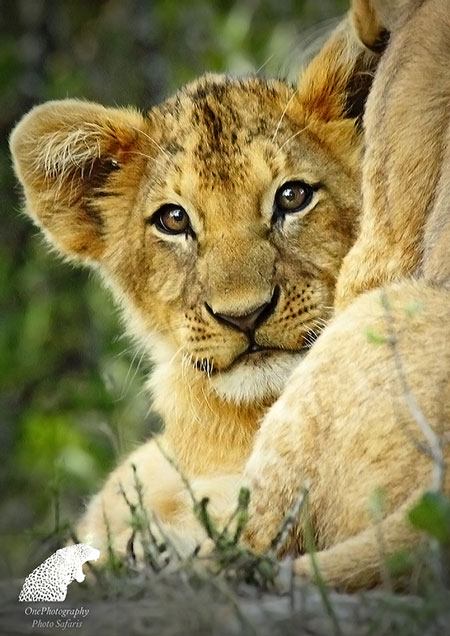 Lion cubs are all paws! They are the future generation of these magnificent beasts in the making.