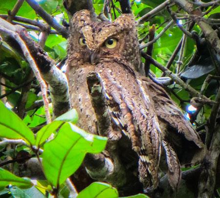 The tiny, and very beautiful Sokoke scops owl