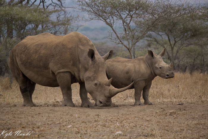 rhino-Mom-and-Calf