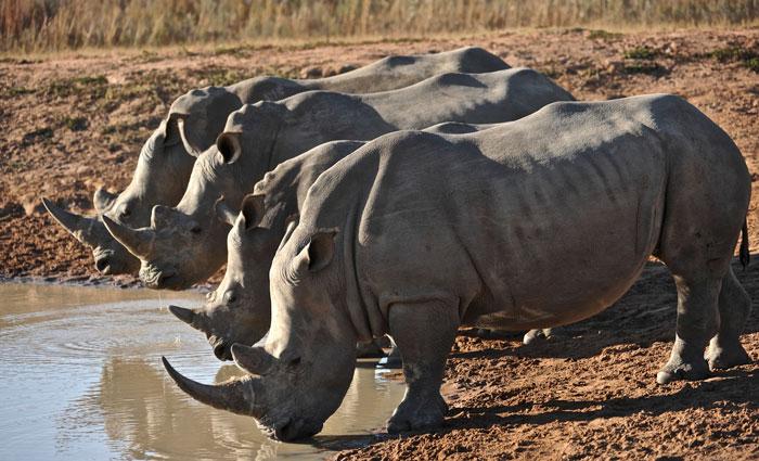rhino-family