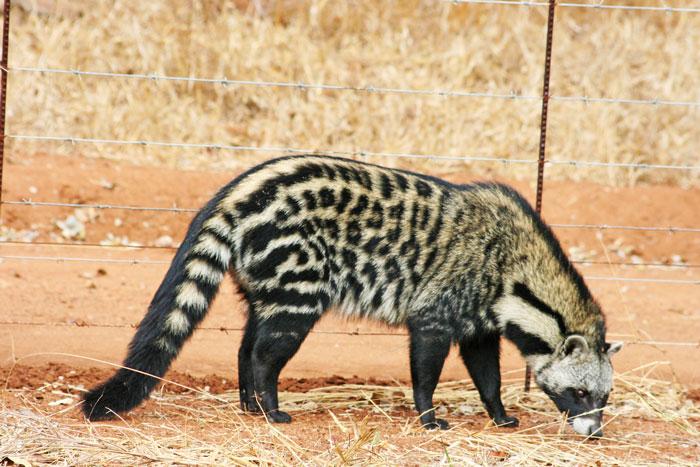 A civet in the Timbavati.