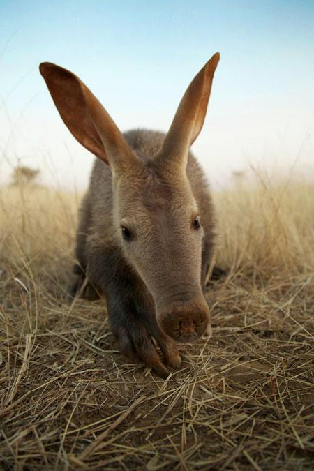 tiny-aardvark