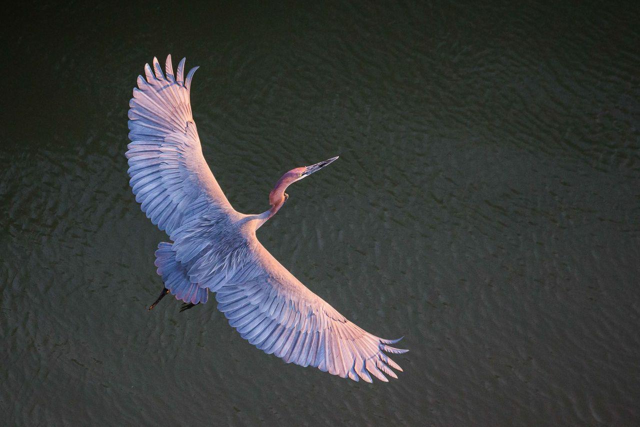 goliath heron south africa ©scott ramsay