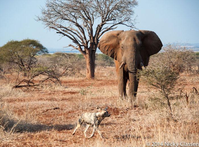 An Elephant Wild Dog Showdown Africa Geographic