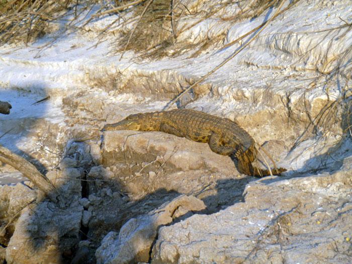 zambezi-river-croc