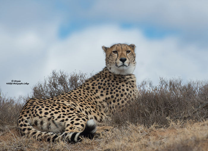 Cheetah-sky-portrait